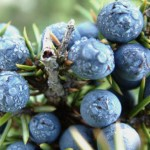 Improve Your Arthritis and Get Rid of Your Cold with the Herbal Remedy Juniper