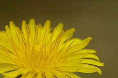 Dandelion for Weight Loss