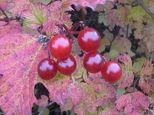 English: The fruits of the Viburnum opulus (Gu...