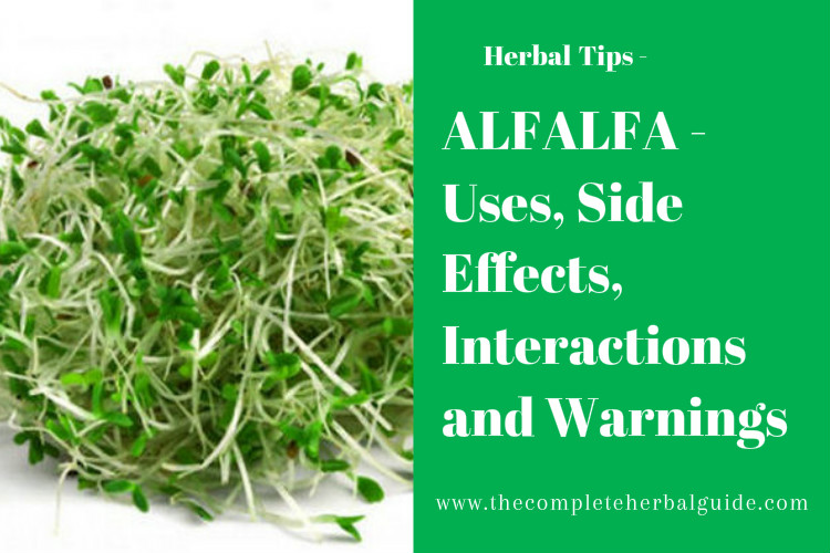 ALFALFA - Uses, Side Effects, Interactions and Warnings