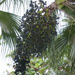 acai-berries-in-tree