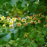 Boswellia_sacra (1)