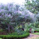 Chaste Tree