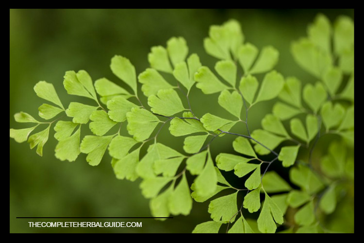 Maidenhair-fern