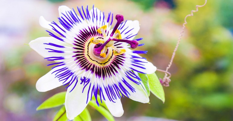 Passion-Flower-Natures-Fragrant-Tranquilizer_ft-770x402