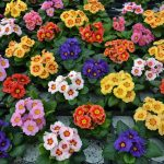 Primula-Ringostar-mixture-photo-Rudy-Raes-Bloemzaden-2