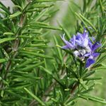 Rosemary-7560 (1)