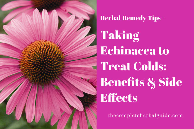 Taking Echinacea to Treat Colds: Benefits & Side Effects