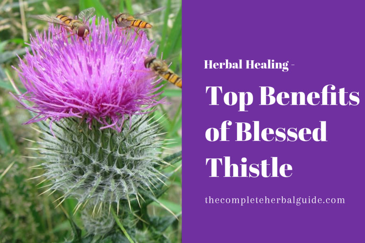 Top Benefits of Blessed Thistle