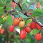 barberry-760x570