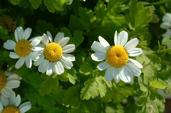 Ways Feverfew Can Help You Cure Your Conditions Naturally