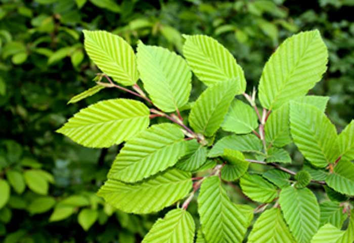 What is slippery elm used for