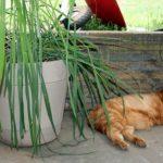 citronella-for-breast-cancer-healing-garden
