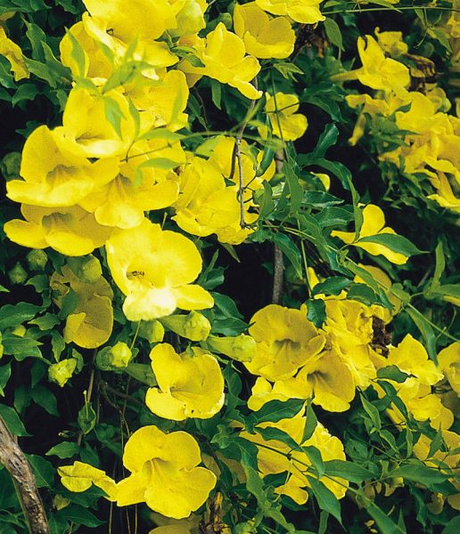 Cats-claw-creeper-flower