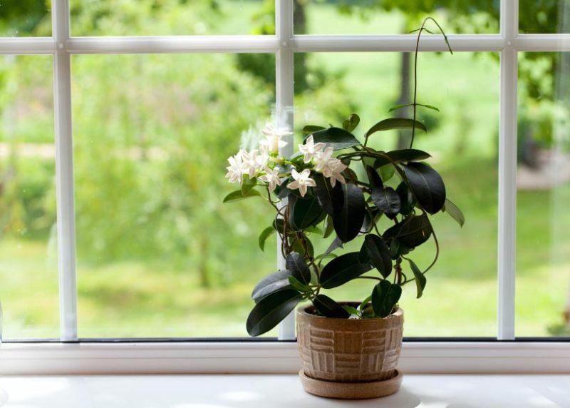 jasmine-plant
