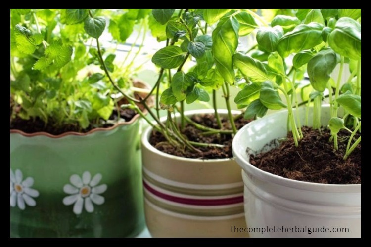 8 Powerful Herbs You Can Grow At Home Easily