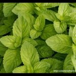 Healing Properties of Spearmint