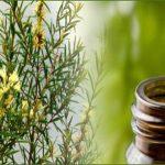 teatreeoil,tea tree oils,tea treeoil,teatree,tea tree