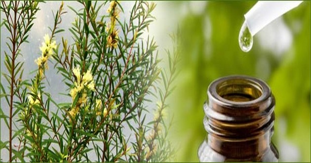 teatreeoil,tea tree oils,tea treeoil,teatree,tea tree