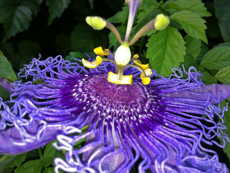 passiflora-incarnata-x