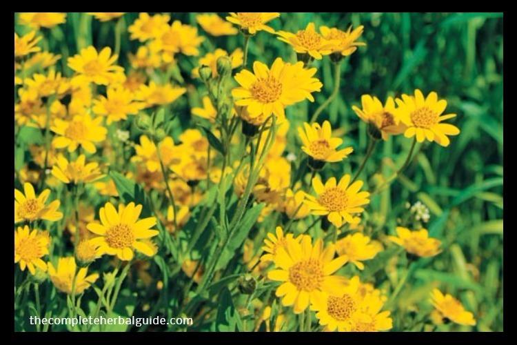 Arnica-Flowers-Lead-Image jpg
