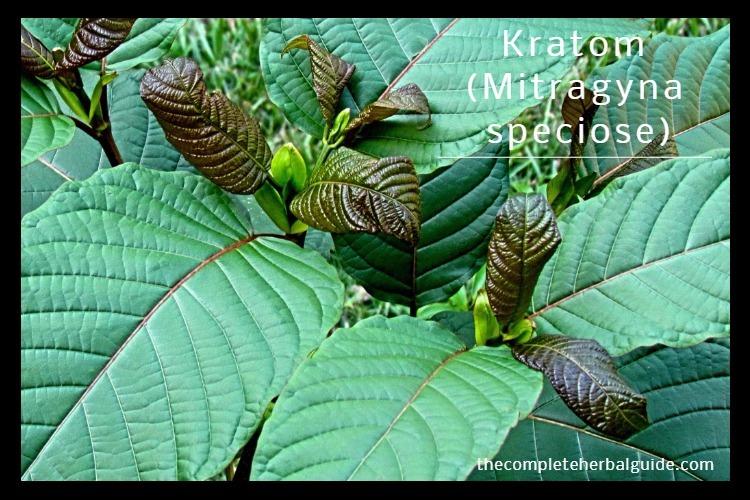Kratom (Mitragyna speciose)