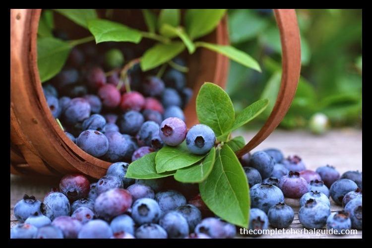 bilberry-1024x768