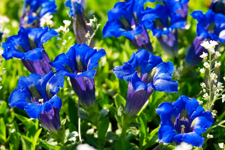 Gentian for weight gain