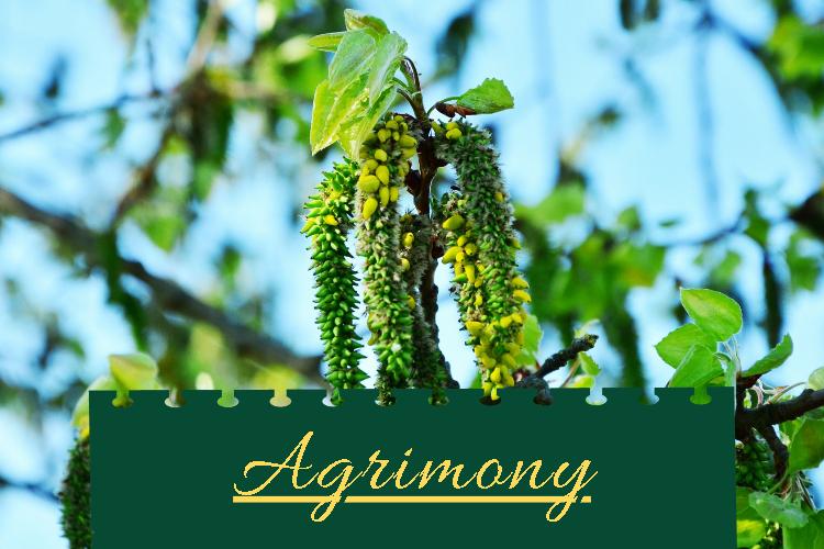 Agrimony