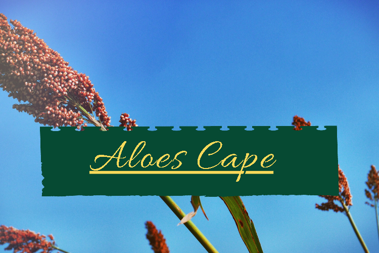 Aloes Cape