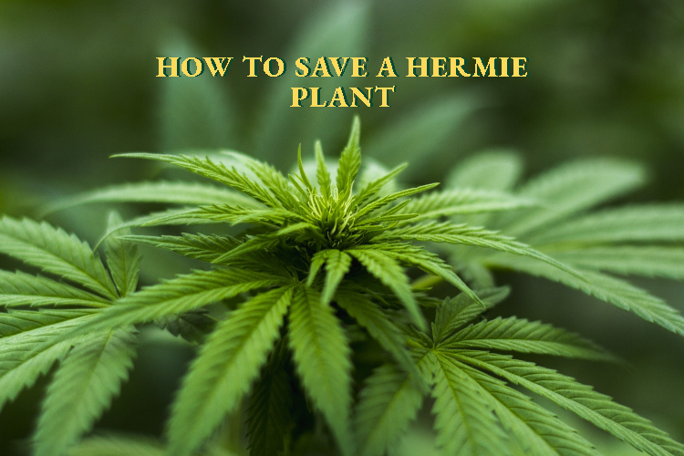Hermaphrodite Cannabis