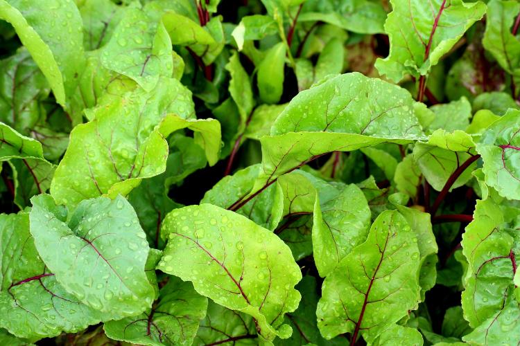beet root leaves